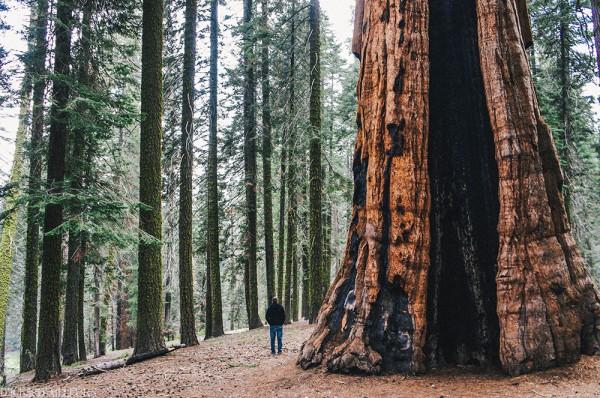 sequoia06