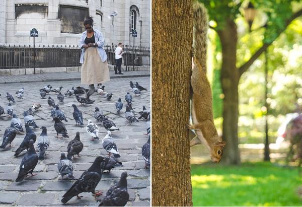 parisVSmontreal-faune-urbaine_